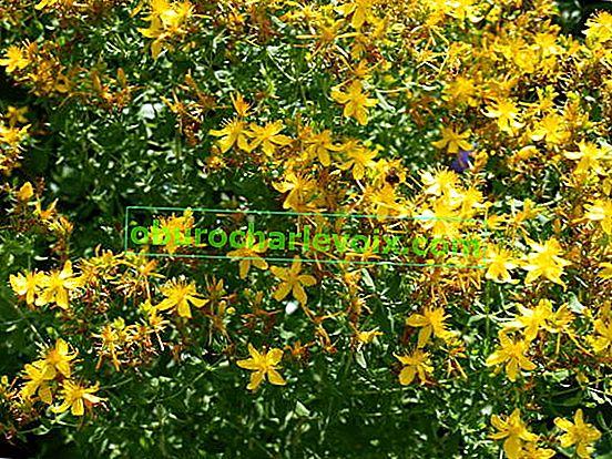 Лечебните свойства на жълтия кантарион