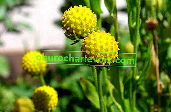 Цефалофора ароматна или ягодова билка