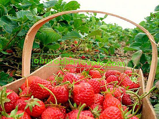 Любимата на нашите градини е едроплодна градинска ягода