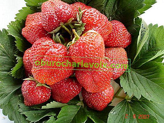 Грижа за градинските ягоди след прибиране на реколтата