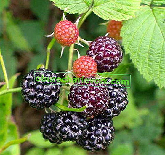 Raspberry Cumberland i njezino slatko društvo