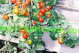 Сорти томатів для балкона