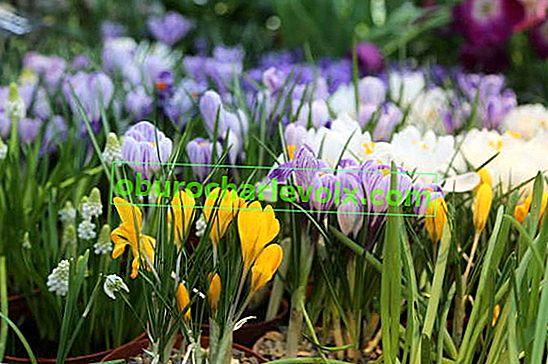 Krokusse im Winter und Frühjahr zwingen