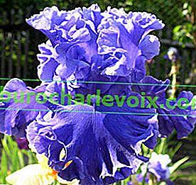 Gartenklassifikation von Iris