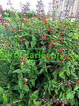 Salvia leuchtend rot: Sorten, die aus Samen wachsen