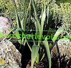 Cibule-anzur - tajemství pěstování