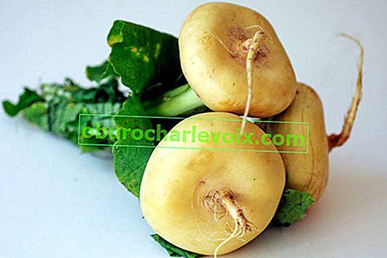 Местен руски зеленчук - ряпа: сортове и свойства