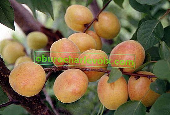 Aprikosen in den Vororten