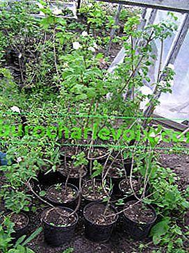 Viburnum: Anbau, Fortpflanzung, Schädlinge und Krankheiten