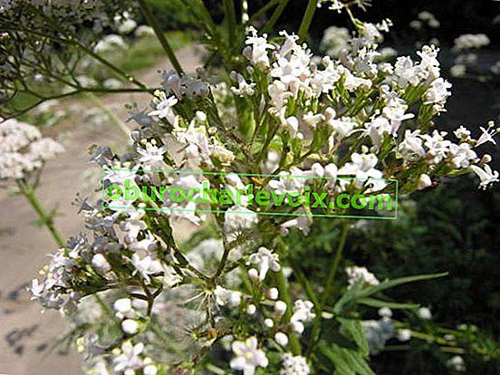 Valeriana officinalis: Anbau auf Bauernhöfen und Haushaltsgrundstücken
