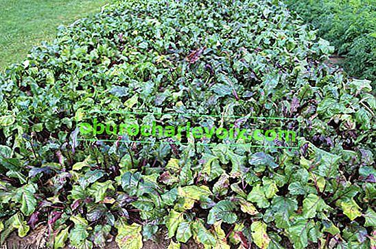 Ernte und Lagerung von Rüben
