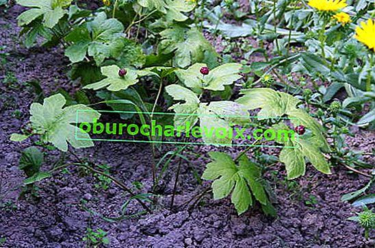 Hydrastis канадски или жълт корен