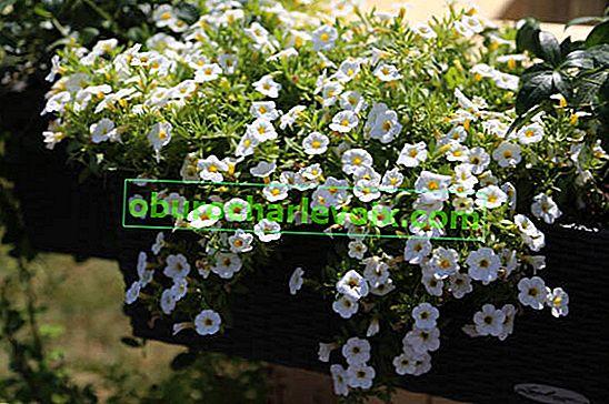 Калибрахоа резници като метод за опазване на зимните растения