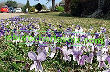 Ароматна виолетка - пратеник на пролетта