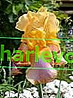Iris pflanzen und züchten