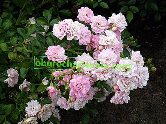 Размножаване на рози чрез резници