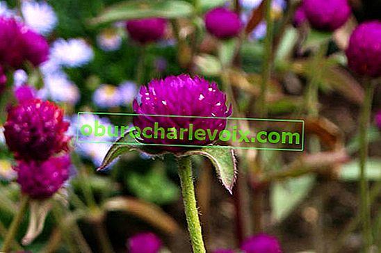 Gomfrena ist die perfekte Trockenblume