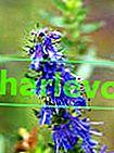 Hyssop officinalis: отглеждане и използване