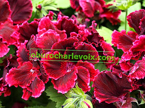 Pelargonium Royal, Engel und einzigartig