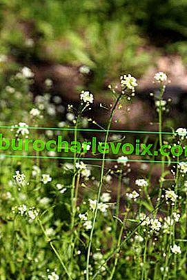 Hirtengeldbörse: Medizin und Gemüse unter dem Zaun hervor