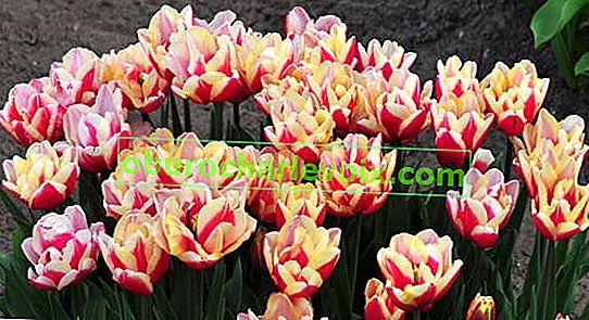 Doppelte späte Tulpen wählen