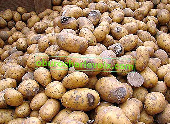 Fusarium oder Trockenfäule von Kartoffeln