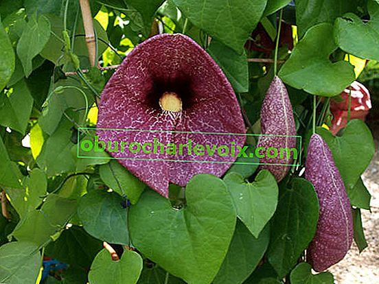 Kirkazon Riese oder Riesen Aristolochia