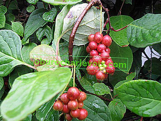 Zucht schisandra chinensis