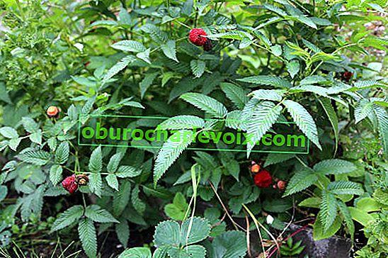 Himbeere verlockend oder Erdbeere