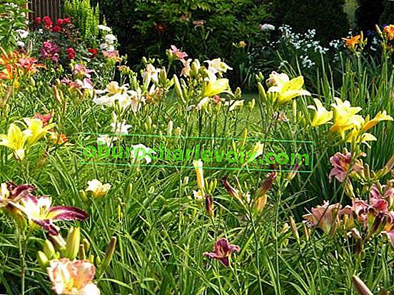 Taglilien im kleinen Garten