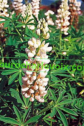 Lupin multifoliate junge Herrin des Schlosses (Russell-Serie)