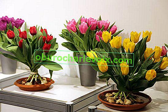 Zmuszanie tulipanów. Cięcie i przechowywanie