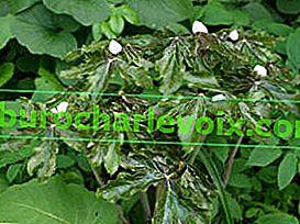 Podophyllum als Zier- und Heilpflanze