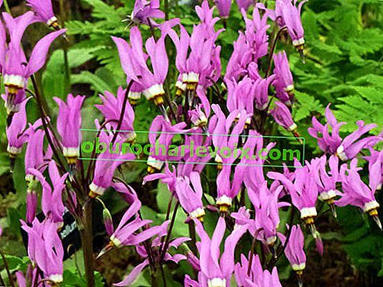 Dodecateon - Blume der zwölf Götter
