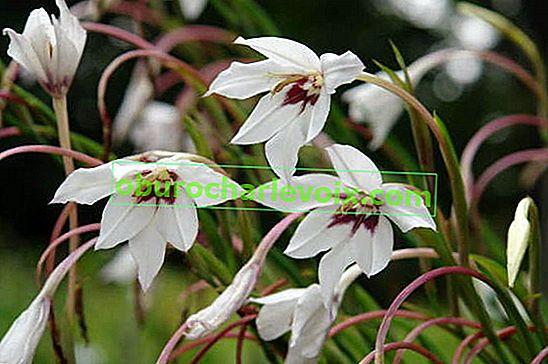 Gladiolus Muriel, poznatiji kao acidander