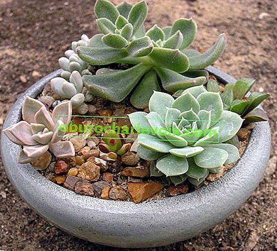 Mini-Gärten der Sukkulenten