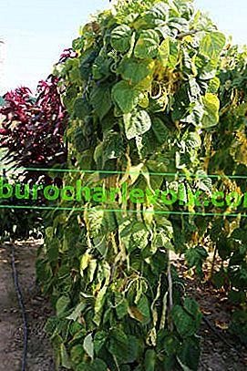 Spargelbohnen: Anbau und Ernte