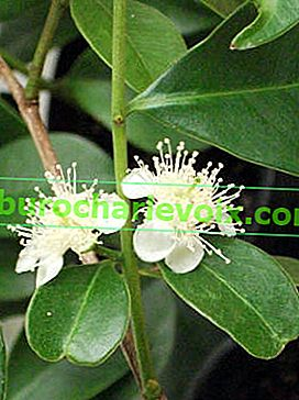 Guava Cattley (Psidium cattleianum)