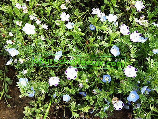 Nemofila Forget-me-not, mix