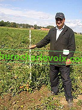 Вирощування томатів у відкритому грунті Підмосков'я