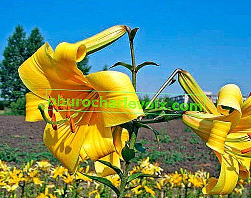Röhrenlilienhybriden: Fortpflanzung im späten Frühjahr