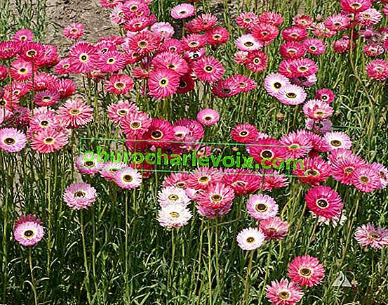 Acroclinum Pink - Australische Trockenblumen
