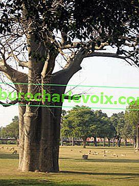 Heiliger Ficus in der Heimat Buddhas und unter Innenbedingungen