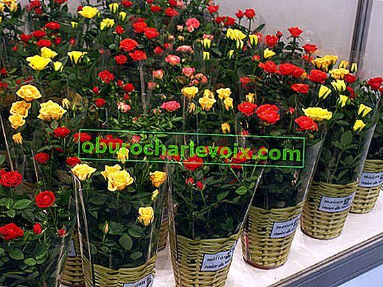 Vnitřní růže: pěstování, péče, reprodukce