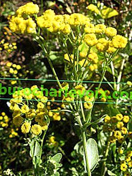 Canuper или балсамов вратига: полезни свойства