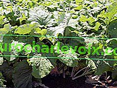 Gobo oder japanische Gemüseklette bittet um den Garten