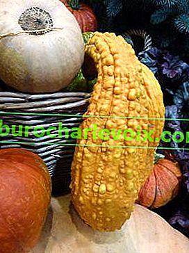 Kruknek: vorteilhafte Eigenschaften und Verwendung beim Kochen