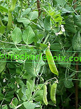 Wie man grüne Erbsen anbaut
