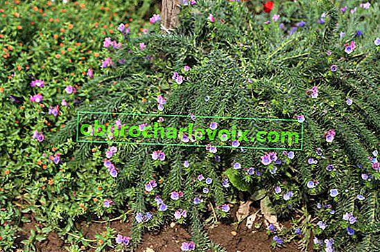 Echium krumm oder Wegerich