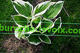 Hosta Fortune Patriot